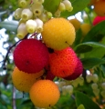 Arbutus - Strawberry tree - flower meaning